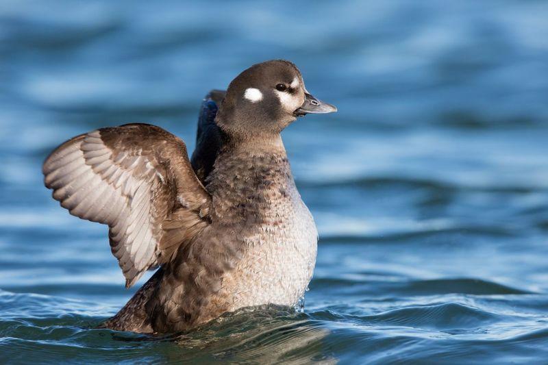 Harlequin Duck Swimming In Lake