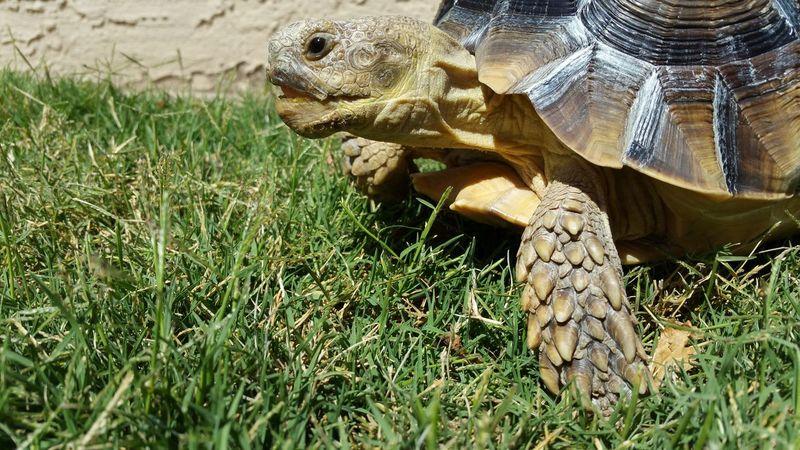 Grass? Sulcata Tortoise Grass Close-up Nature's Diversities