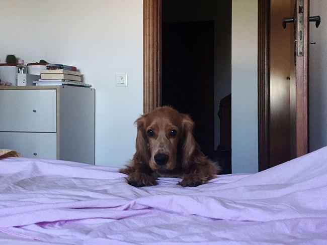 Dog Bed Pink White Bedsheet Brown Cockerspaniel Looking At Camera
