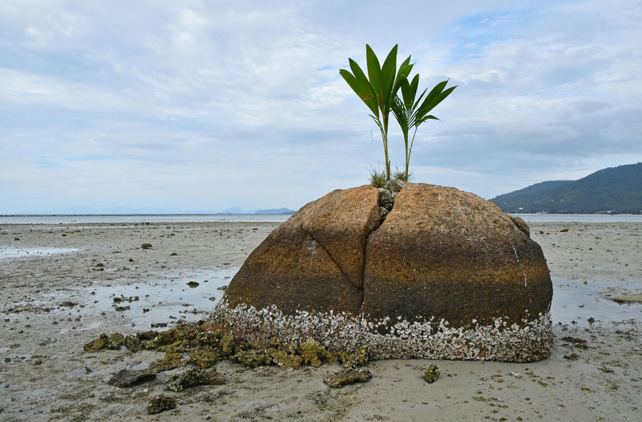 Palm tree out of rock. Usually I saw it in the midle of water rather far from seashore. But early bird can capture it out of water during low tide. Grow Growing Growth Landscape Low Tide Lowtide  Nature Palm Palm Tree Pivotal Ideas Rock Sea Seascape Seashore Seaside Shore Stone Struggle Survival Survive Tree Young The KIOMI Collection The Great Outdoors With Adobe Nature's Diversities