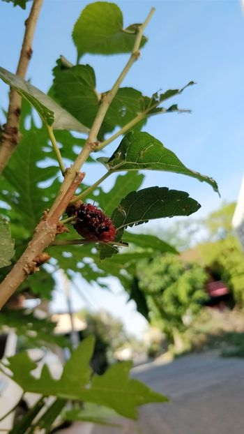 Flower Beauty Mulberry Tree Beauty In Nature Flower Flower Lovers Lover Nature Mulberry Mulberry Fruit Nature Plant Vintage