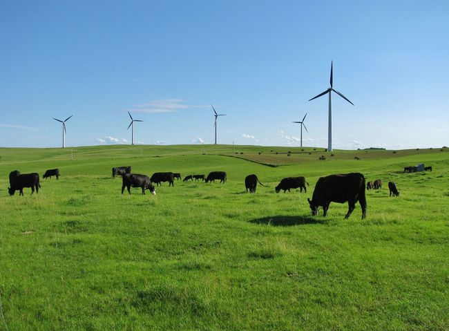 Summer Grazing Alternative Energy Animal Black Black Angus Calf Canonphotography Cattle Clear Sky Cows Domestic Animals Fuel And Power Generation Grass Grazing Green Landscape Livestock Pasture Renewable Energy Sky Wind Energy Wind Farm Wind Power Wind Turbine Windmill