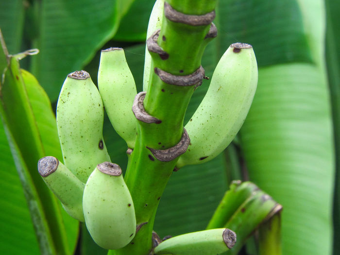 Bananas Baby Bananas Green Bananas Stalk Stalk Of Bananas Growth Green Color Close-up Nature Plant Leaf Tropical Plants Fresh Fruits Outdoors Freshness Beauty In Nature Fragility Fruit On Tree Rippening Unripe Little Things Little Banana Healthy Food Healthy Eating Eating Healthy