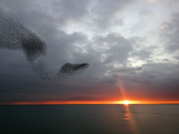 python like starlings Murmuration Of Starlings Murmuration Starlings Brighton Brighton Pier Clouds Pier Python Water Bird Sea Sunset Flying Sky Horizon Over Water Animal Themes Cloud - Sky