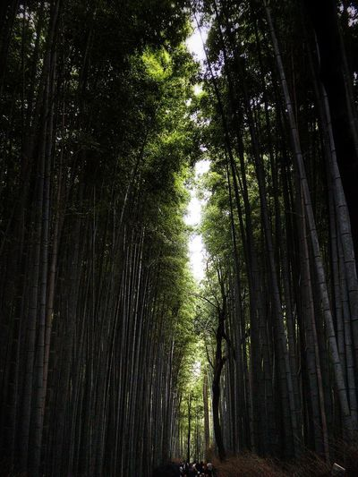 Bamboo Forest Arashiyama Bamboo Grove Japan Kyoto Water Plant Tree No People Nature Tranquility Day Beauty In Nature Full Frame Outdoors Reflection Growth Tranquil Scene