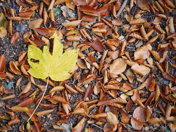 High angle view of maple leaves on field