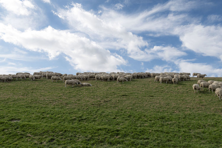 Animal Animal Themes Cloud - Sky Domestic Domestic Animals Environment Field Flock Of Sheep Grass Group Of Animals Herbivorous Herd Land Landscape Large Group Of Animals Livestock Mammal No People Pets Plant Sheep Sky Vertebrate