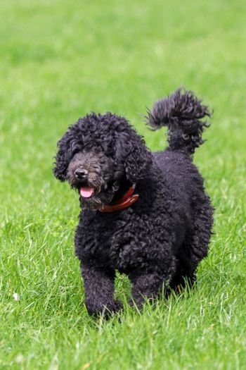 Happy dog Dogs Of EyeEm Poddle One Animal Pets Dog Domestic Animals Mammal Canine Domestic Animal Black Color Poodle Vertebrate Nature