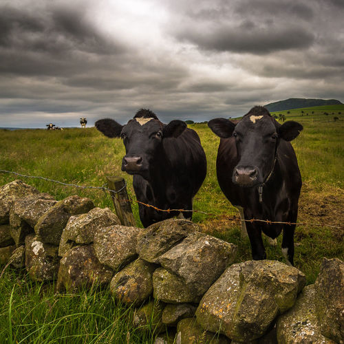 Two very curious cows with Slemish Mountain in the background Ireland Animal Themes Beauty In Nature Black Color Cloud - Sky Cow Cows Day Domestic Animals Field Grass Grazing Landscape Light And Shadow Livestock Nature No People Outdoors Portrait Saint Patrick Sky Stone Wall Togetherness