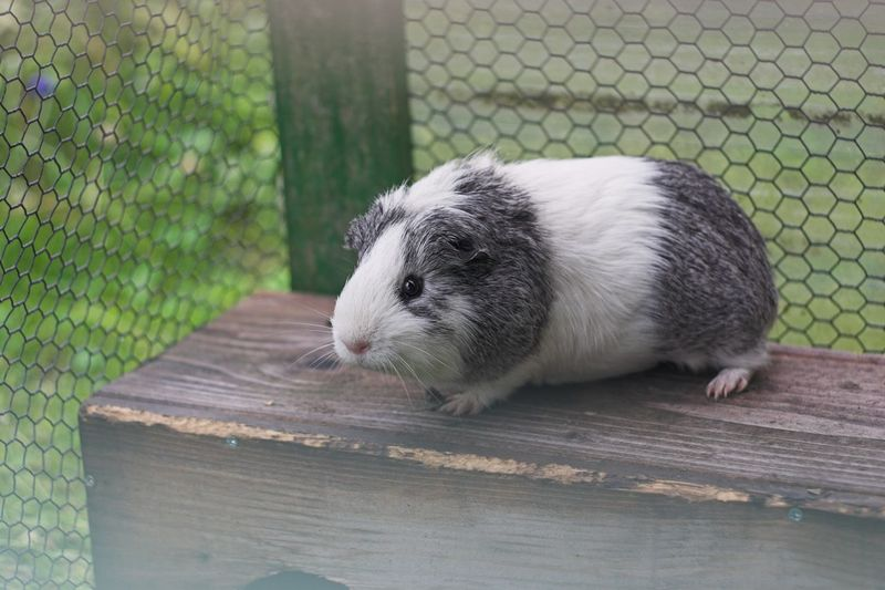 Guinea Pig Guineapig Pet Animal Nature No People Domestic Animals Day Animal Themes