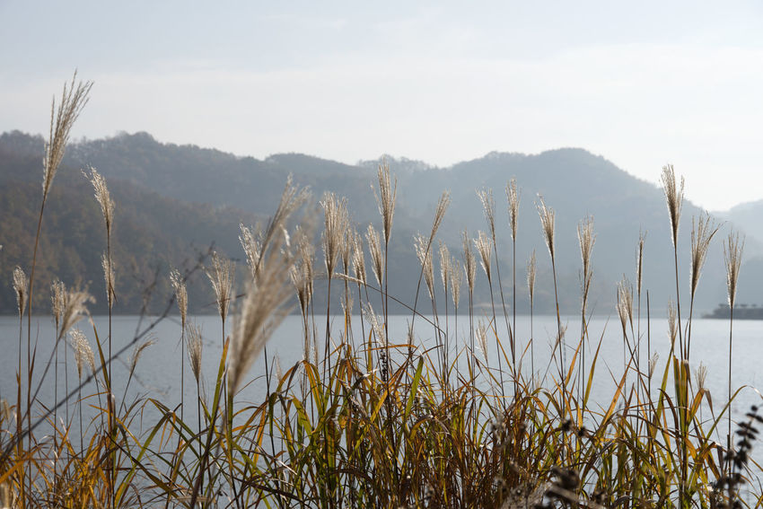 autumn landscape of Busodamak, a beautiful lake located in Okcheon, Chungbuk, South Korea Busodamak Okcheon Silver Grass Autumn Lake Beauty In Nature Day Growth Lake Lake In The Morning Lakeside Landscape Morning Lake Mountain Nature No People Outdoors Plant Scenics Silvergrass Sky Tranquil Scene Tranquility Water