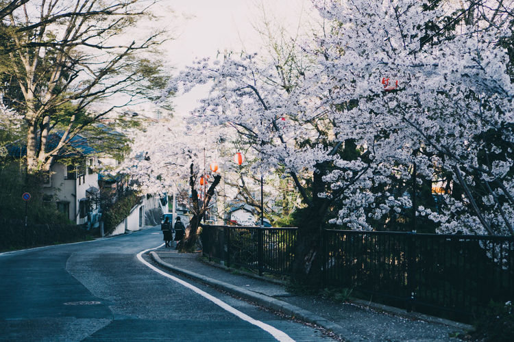 View of cherry blossom on street