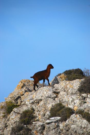 Goat One Animal Clear Sky Sky Animal Animal Themes Vertebrate Nature No People Blue Rock Copy Space Day Solid Mammal Side View Rock - Object Animal Wildlife Low Angle View Domestic Animals Animals In The Wild