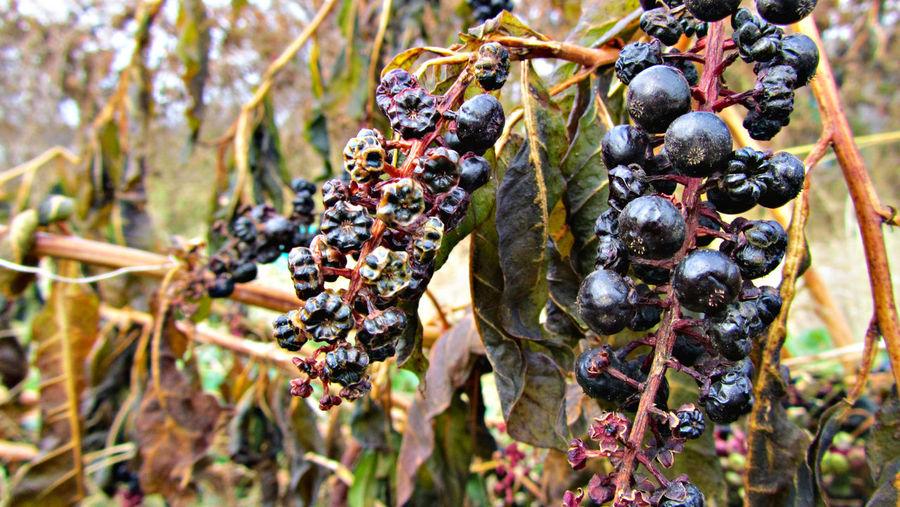 Close up of fruit growing on bush