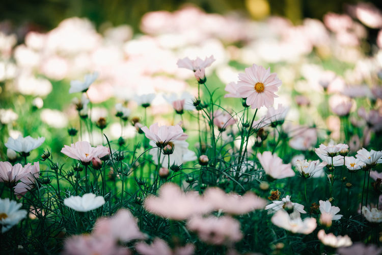 Flowering Plant Flower Freshness Plant Fragility Beauty In Nature Vulnerability  Growth Petal Flower Head Selective Focus Inflorescence Close-up Nature Land Day Field No People White Color Pink Color Cosmos Flower White Flower