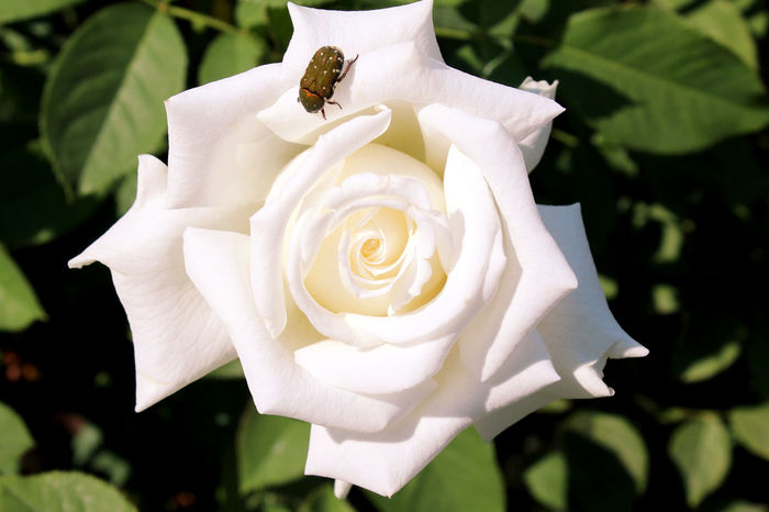 Beautiful white rose flower blooming close-up. Animal Themes Beauty In Nature Blooming Close-up Day Flower Flower Head Fragility Freshness Growth Insect Nature No People One Animal Outdoors Petal Plant Rose - Flower Roses🌹 White White Color White Rock Lake