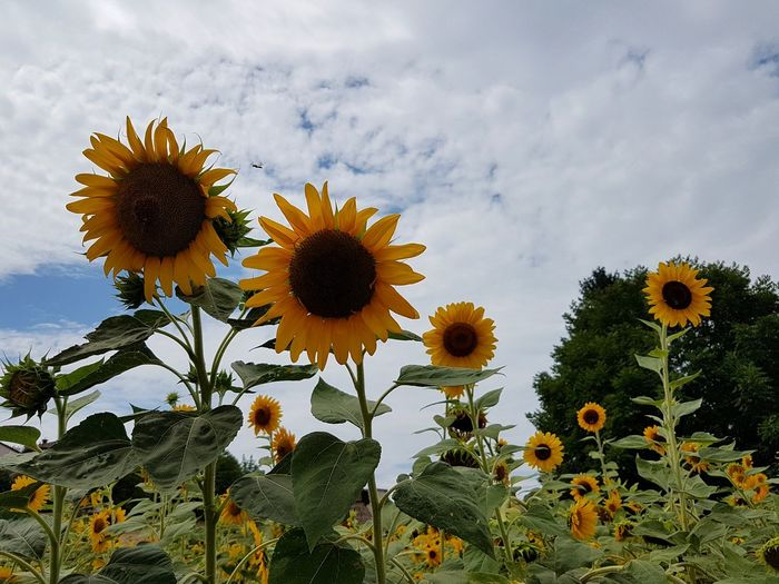 Flower Sunflower Growth Flower Head Nature Petal Plant Botany Beauty In Nature Sky Day Outdoors Cloud - Sky Fragility Uncultivated No People Horticulture Rural Scene Sunflowers