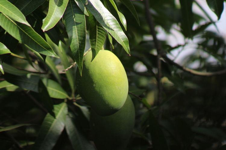 Tasty and healthy organic raw mango