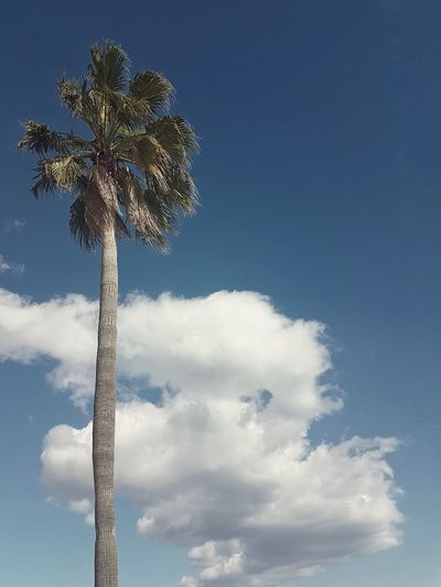 Higher than the clouds Perspective Minimal Relax High Palm Coast Sun Sunny Bluesky Highpalm Beautiful Cloud - Sky Cloud Sky Minimalism Minimal Simplicity Highangleview Nopeople Outdoors Lookingup Palmtree Cloud - Sky Sky Blue Outdoors Day No People Tree Nature