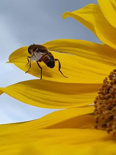 Close-up of yellow insect on sunflower against sky