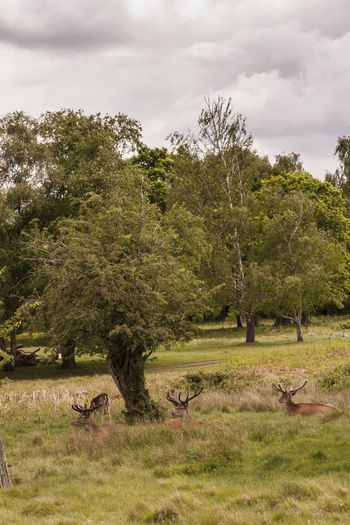 Deer in Richmond Park, London Animal Themes Antler Day Deer Fawn Grass London Lifestyle LONDON❤ Mammal Nature No People Outdoors Tourism Tourist Attraction  Uk