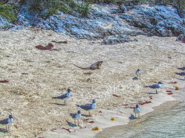 Bahamas Exuma Iguanas Seagulls Iguana Island