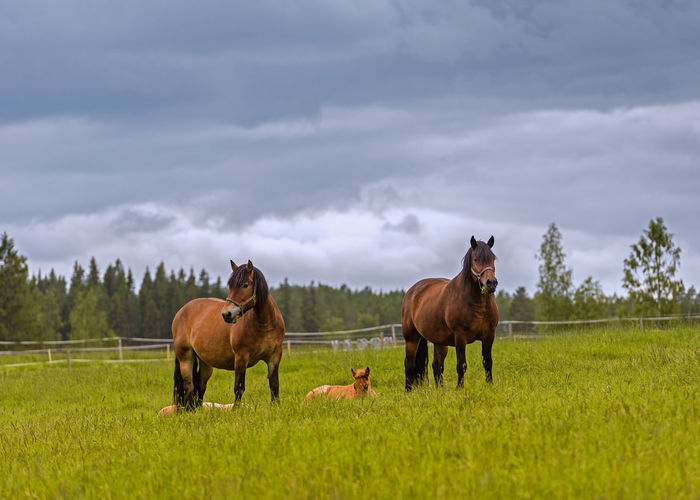 the horses with their foals Sweden Beauty In Nature Brown Cloud - Sky Countryside Day Domestic Animals Field Foals Grass Grazing Green Color Herbivorous Horse Landscape Lying Down Lying Down In Grass. Nature Outdoors Paddock Pasture Rural Scene Sky Standing Tree
