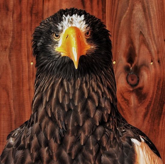 Close-up of steller sea eagle against wood