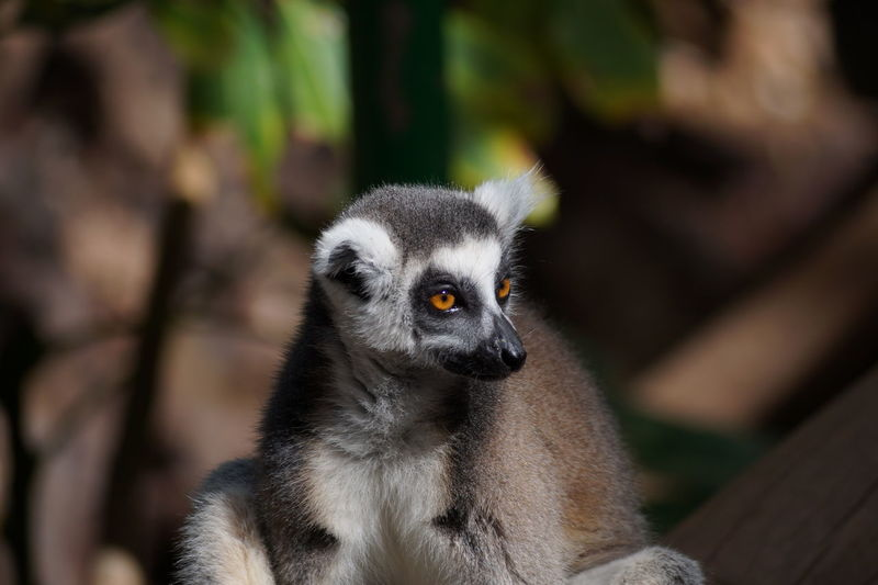 Close-up of lemur at zoo