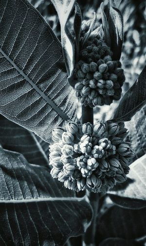Budding Buds Plant Leaves Vintage Flower Buds Veins In Leaves Broad Leaves From My Point Of View From My Eyes To Yours Letgodhandleit Nature Green Tone Black And White Macro Macro Plant Close Up Close Up Nature Black And White Black & White Close-up Close Up Plant Closeup Buds Big Leaves