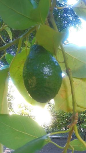 No People Leaf Day Green Color Nature Plant Growth Tree Close-up Avocado Avocado Tree Avocado Plant Beauty In Nature Freshness