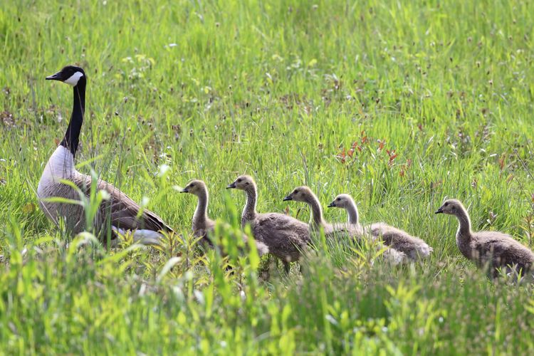 Animal Themes Animal Wildlife Animals In The Wild Beauty In Nature Bird Day Field Gosling Grass Large Group Of Animals Nature No People Outdoors