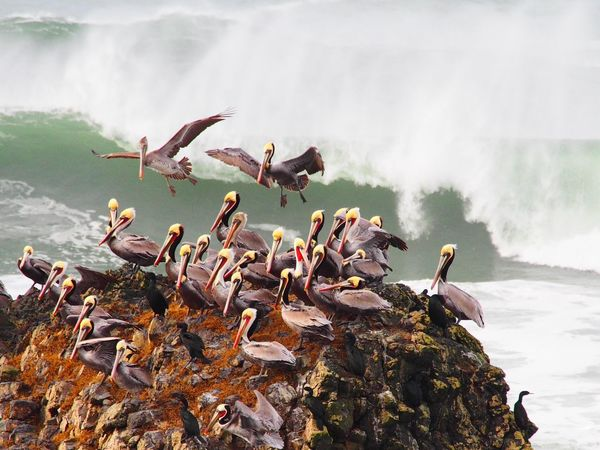Brown Pelicans on Seal Rock during a high storm surge. Seal Rocks Oregon Coast Bird Photography Brown Pelican Storm Surge EyeEm Birds Birds Of EyeEm  Birds In Flight The Great Outdoors - 2017 EyeEm Awards