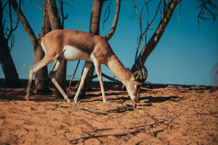 View of a deer on a field in desert