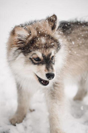 Dog on snow field, snow in fur