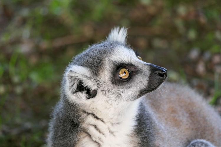 Close-up of a lemur looking away