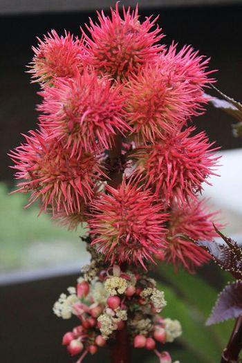 Odd blossom. Strange Blossom Spikes Pinkflower In My Garden Summer Memories...