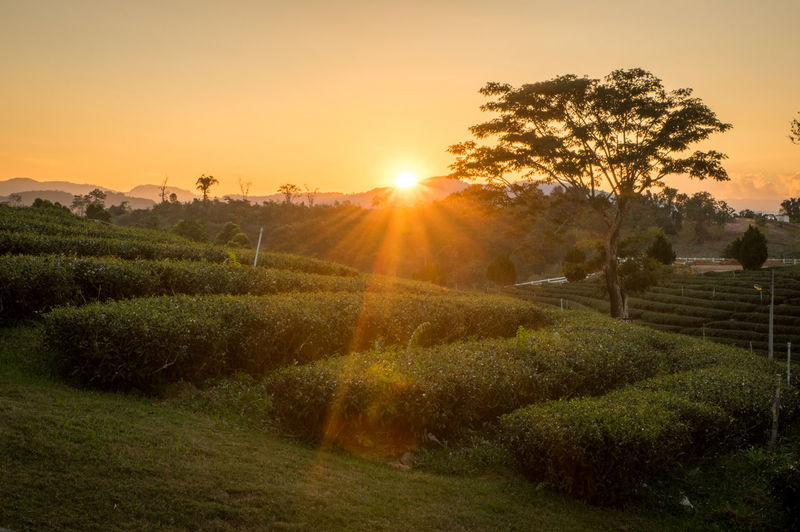 Sunset over green tea fields close to Chiang Rai Plant Sky Tree Sun Sunset Sunlight Scenics - Nature Tranquility Landscape Beauty In Nature Tranquil Scene Nature Field Lens Flare Growth Land Environment No People Sunbeam Agriculture Outdoors Bright Plantation