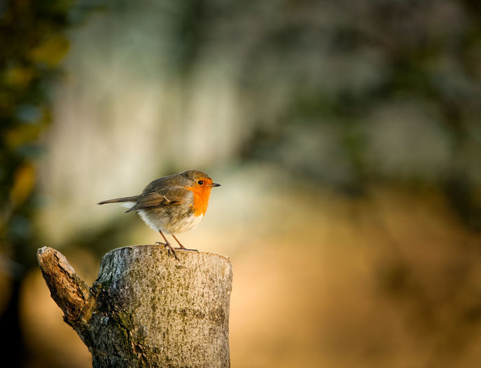 Animals In The Wild Beauty In Nature Bird Day Multi Colored Nature No People One Animal Perching Robin Winter