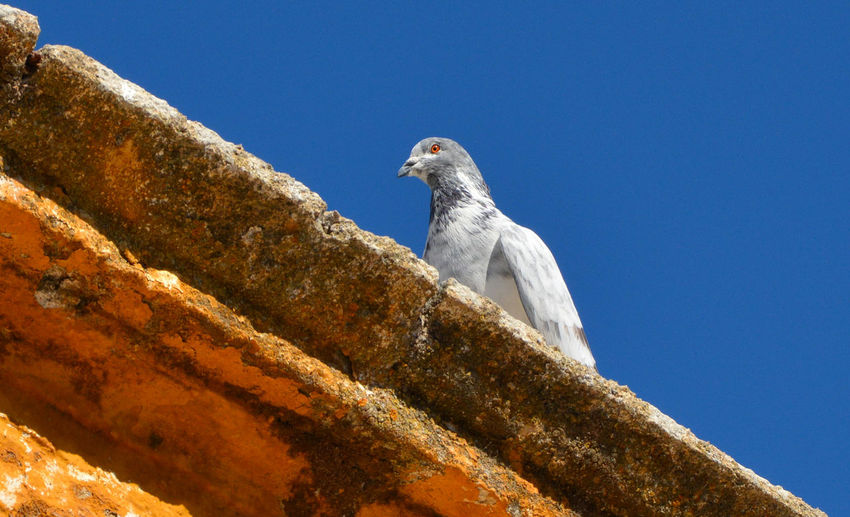 Low angle view of dove perching on retaining wall against clear sky