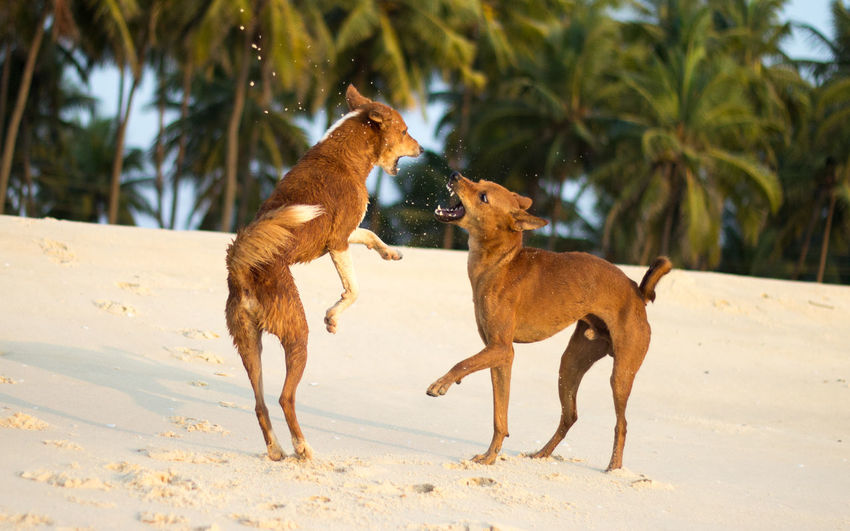 Dogs fighting on beach