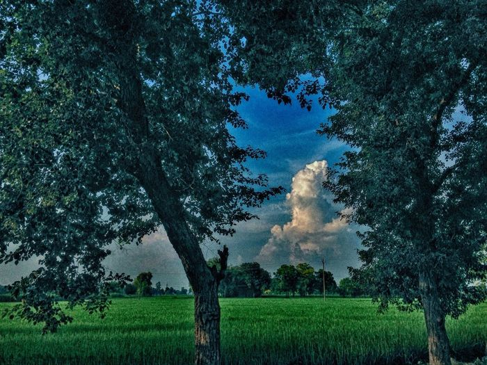 Tree Growth Field Tranquil Scene Tranquility Green Color Branch Scenics Sky Beauty In Nature Nature Rural Scene Day Agriculture Outdoors Cloud - Sky Non-urban Scene Farm Remote First Eyeem Photo