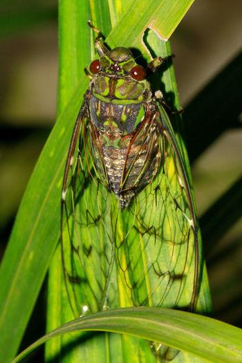 Cicada, Purana
