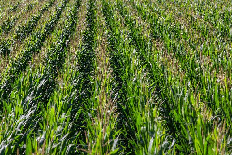 Agriculture Beauty In Nature Cereal Plant Close-up Crop  Cultivated Land Day Field Freshness Full Frame Grass Green Color Growth Nature No People Outdoors Plant Rice - Cereal Plant Rice Paddy Rural Scene Scenics Tranquility