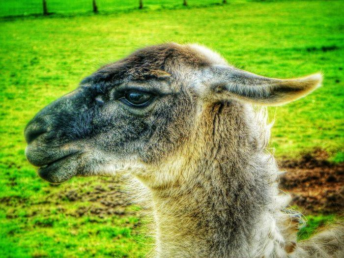 Llama Nature_ Collection