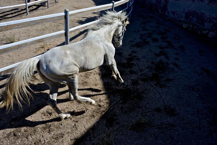 white horse runaway White Horse Animal Themes Arabic Horse Domestic Animals Equestrian Herbivorous Horse Mammal Nature No People One Animal Outdoors Paddock Riding Riding School Runaway Standing Thoroughbred Thoroughbredhorse