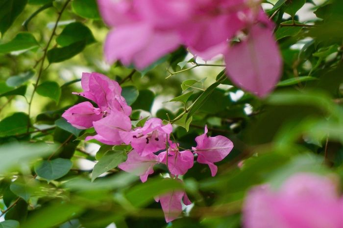 Close up of pink bougainvillea bouquet with green leaves background Soft Tones Bright Colors Background Fresh Color Topical Flower Flora Springtime Summertime Plant Flowering Plant Pink Color Growth Flower Beauty In Nature Fragility Freshness Close-up Day Nature Selective Focus