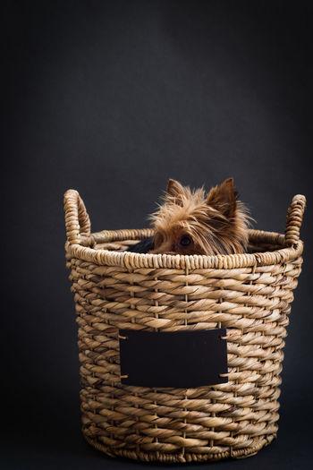 Studio shot of hairy dog hiding in basket