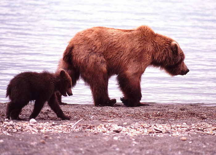 Side view of grizzly bear with cub walking by river