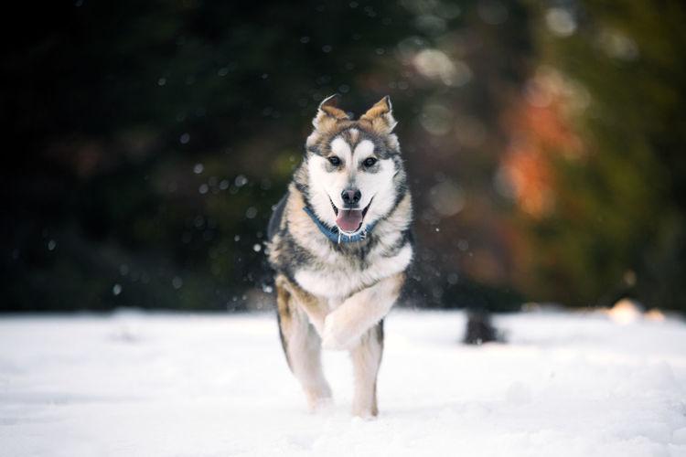 Dog walking on snowy field during winter